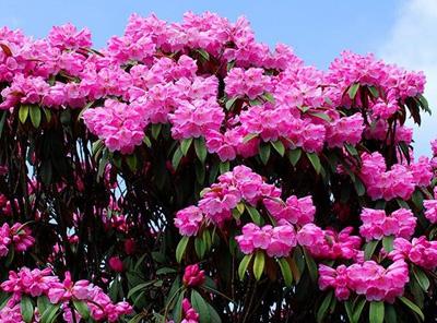 杜鹃花的象征意义和杜鹃花语 杜鹃花图片大全