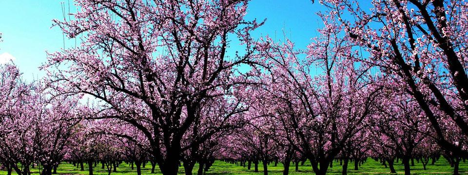樱花的花语是什么|樱花的原产地是哪里