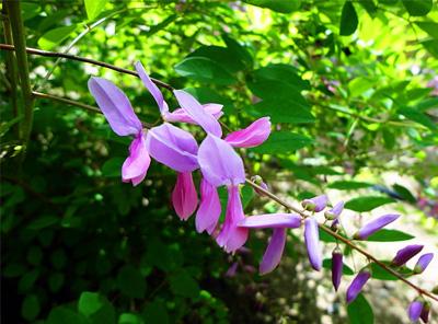 关于花木蓝的资料|花木蓝图片