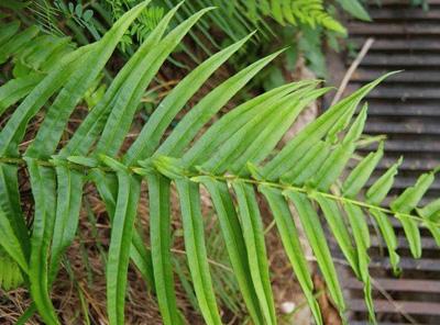 关于凤尾蕨的资料|凤尾蕨图片
