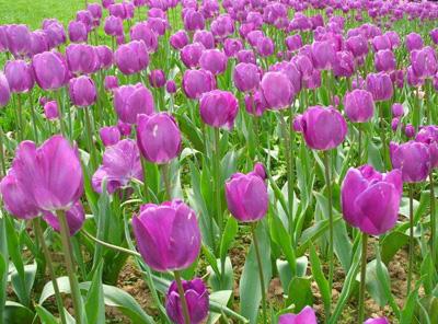 紫色郁金香图片赏析