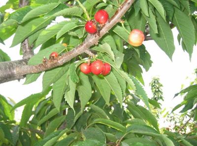 樱珠和樱桃的区别