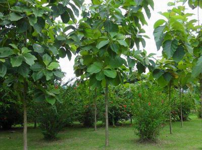 广西柚木的价值介绍