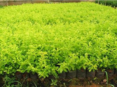 黄金叶产地和栽培方法