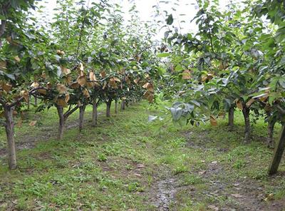 梨树的用途和作用
