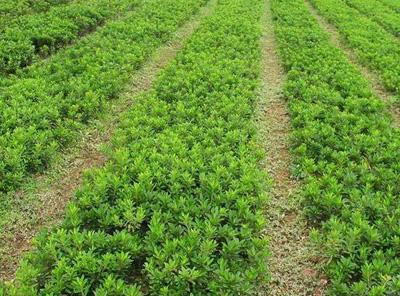 黄杨苗价格和栽培方法介绍