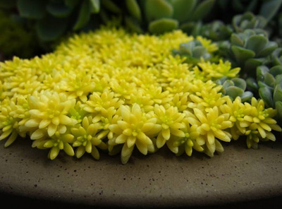 黄金万年草植物介绍