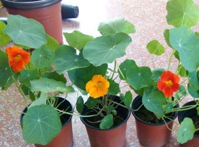 旱金莲的种植方法