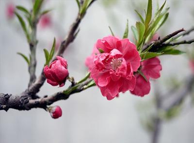 桃花夏季如何修剪?