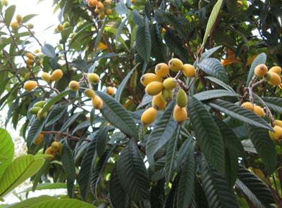 枇杷树什么时候种植?枇杷树的种植时间与方法