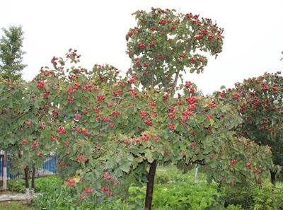 山楂树什么时候种植比较好?