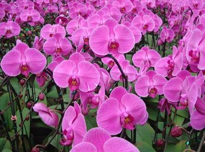 夏季蝴蝶兰该如何养护?
