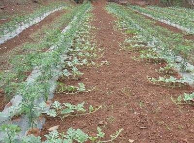 大棚西瓜主要病虫害防治技术