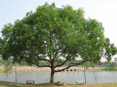 香樟树是什么树?