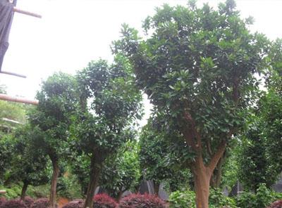香橼树与香泡树苗的区别