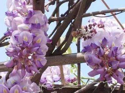 紫藤繁殖方法介绍