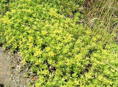 佛甲草和垂盆草的区别和养殖方法