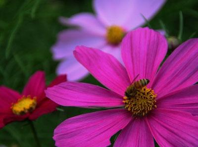 烟草花花语是什么?烟草花什么时候开花?
