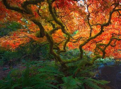 如何修剪日本枫树?