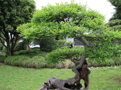 如何修剪盆景树?