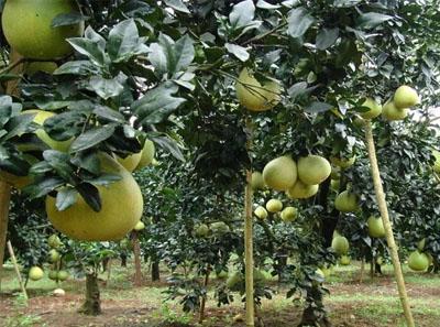 柚子在什么季节成熟?什么时候最好吃?