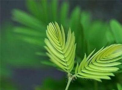 含羞草为什么会收缩?