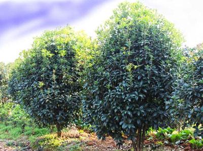 八月桂花树种植技术