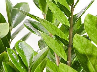 小金钱树种植方法介绍