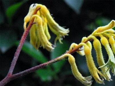澳洲袋鼠花的种植方法