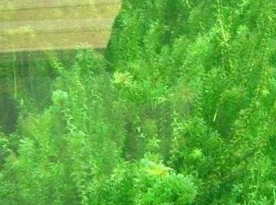 轮叶黑藻的种植介绍