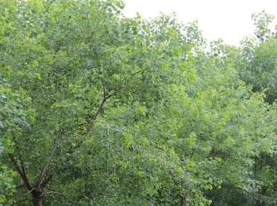 红叶乌桕树植物资料