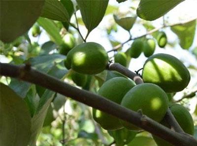 种植大青枣的三大技术问题