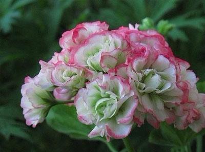 天竺葵扦插方法,生根快存活率高很好养