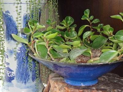 水培碧玉培养方法和养护