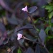 紫鸭拓草植物的介绍|紫鸭拓草图片