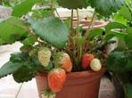 阳台种植草莓的方法