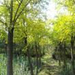 银鹊树木介绍|银鹊树图片