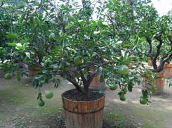 盆栽柚子树的栽培方法