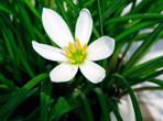 白花葱兰的种植方法