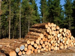 前9月智利辐射松木材出口同比下跌2%