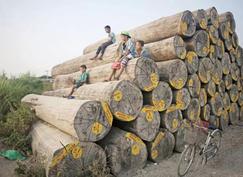 缅甸自然资源和环境保护部鼓励木材厂种植出口原木