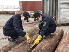 江门海关在入境原木中首次截获有害物种