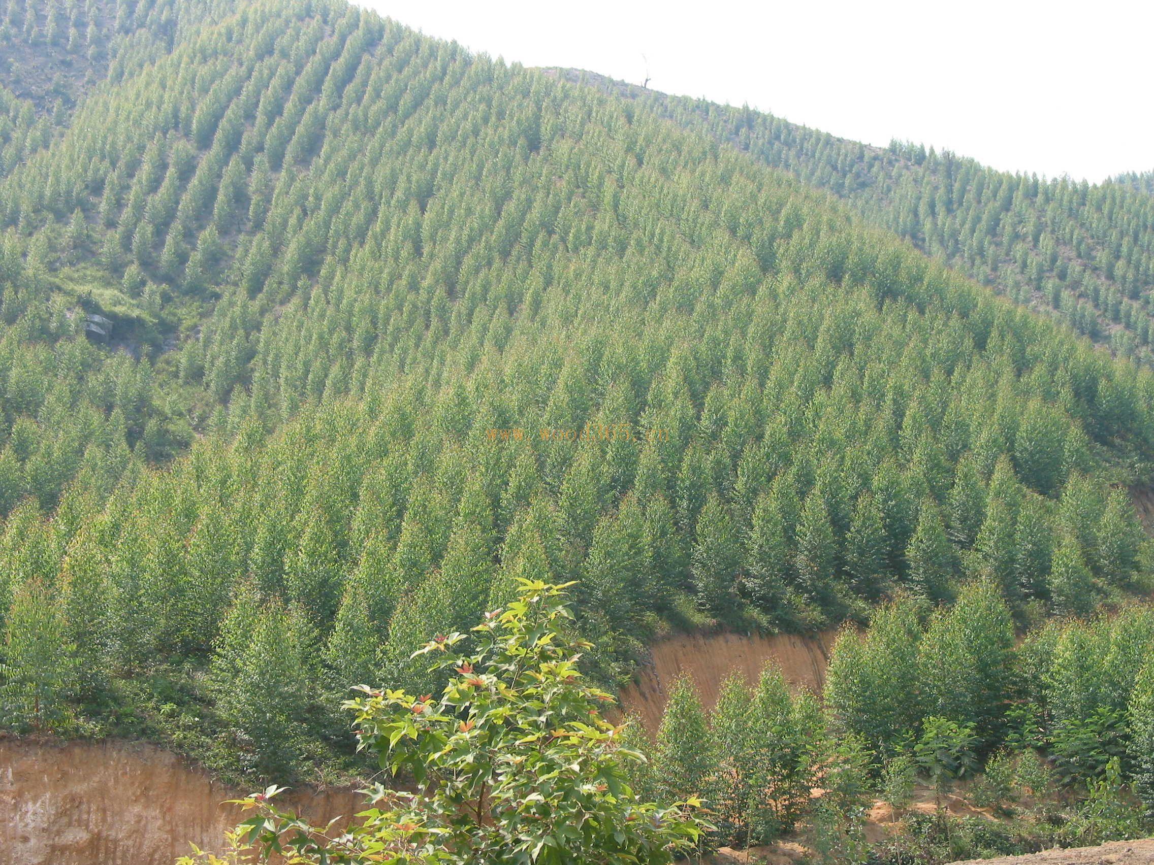 长期供应大量各种规格桉树原木,手续齐备,价格合理,欢迎来电来人联系