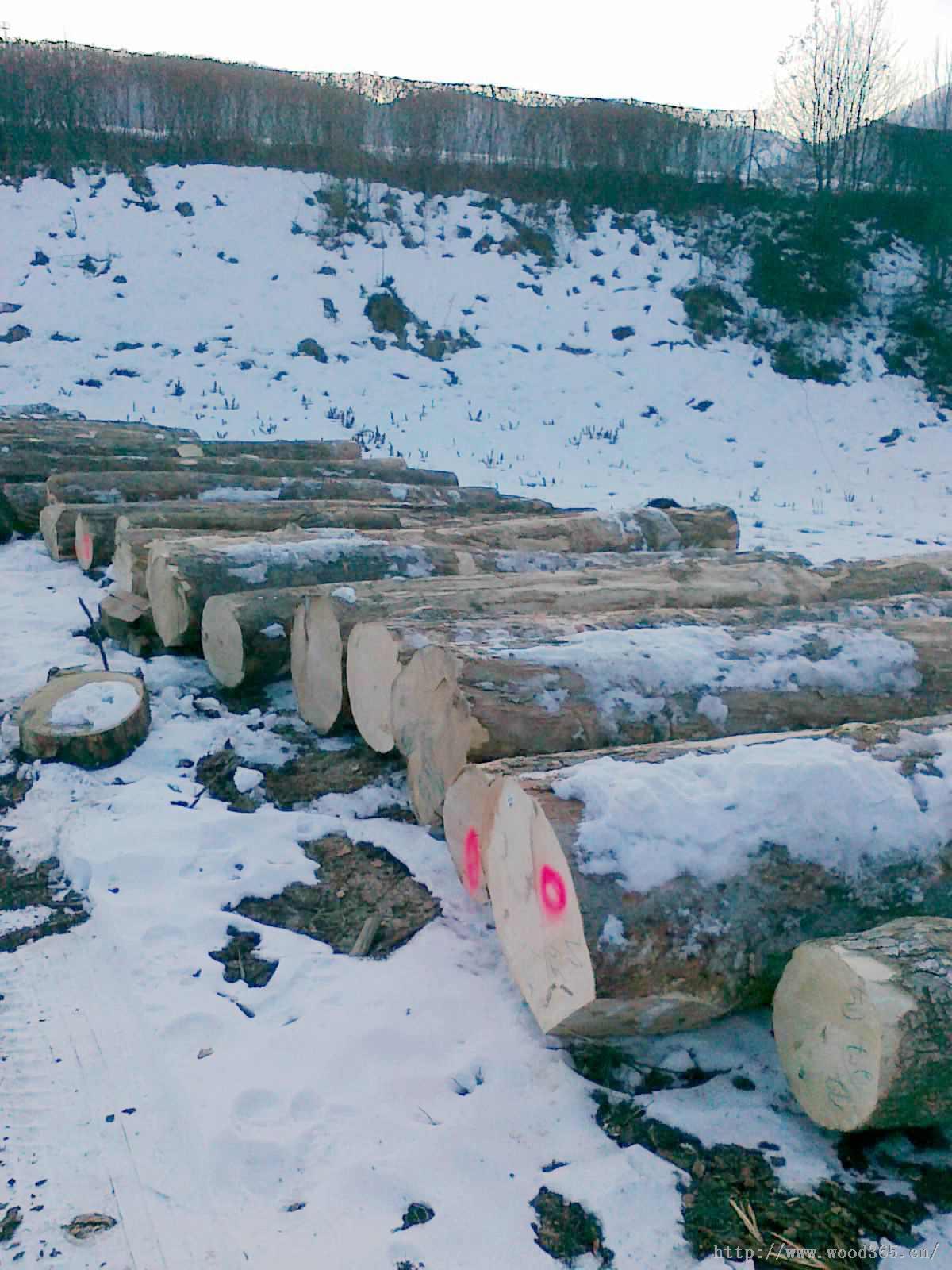 供应欧洲枫木原木