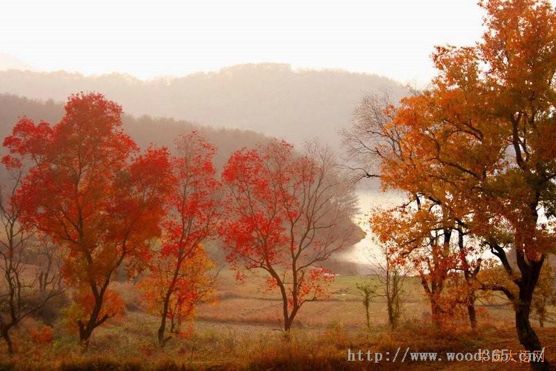 乌桕树价格25,30,40公分乌桕报价-南京大树园苗圃