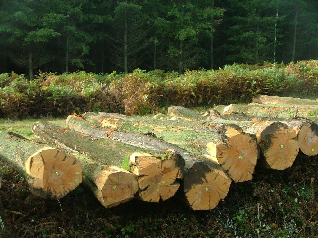 欧洲ABC级榉木原木