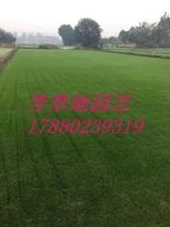 供应广元公园绿化草皮景区绿化草皮成都种植基地