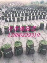 贵州道路草皮混播草皮人工草皮种植基地成都基地直供