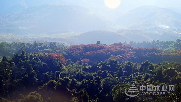 大王椰进口楠香木:千辛万苦寻好木,一切只为爱家的你