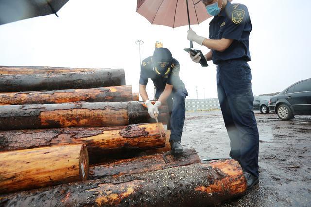 河北曹妃甸2.34万立方米进口原木顺利通关